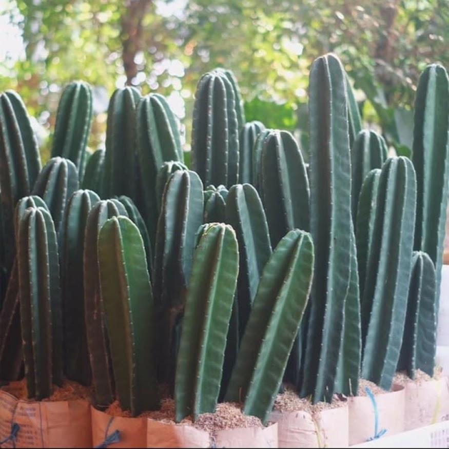 Tanaman Hias Kaktus Belimbing Kaktus Koboi Kaktus Koboy Nusa Tenggara Barat