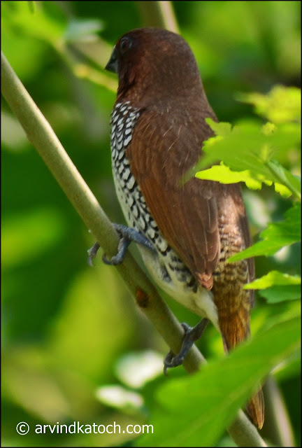 Scaly-breasted Munia, Munia
