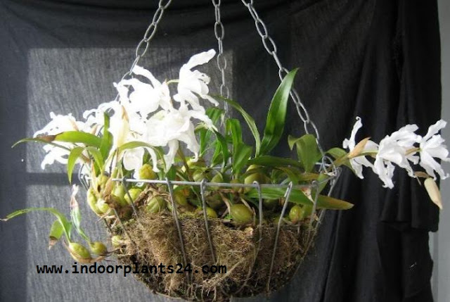 COELOGYNE CRISTATA indoor house plant photo