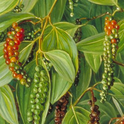 Black pepper, which is prepared by drying the mature green berries, is a major spice with varied applications in processing industries