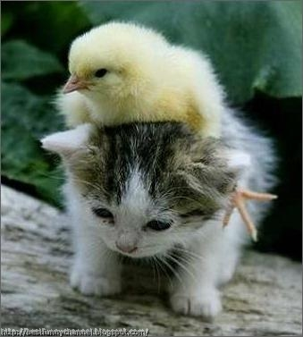 Funny chicken and kitten.