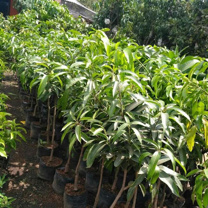 BELI 2 GRATIS 1 Bibit mangga irwin ungu okulasi bisa COD Jawa Barat