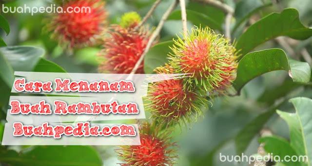 cara menanam buah rambutan