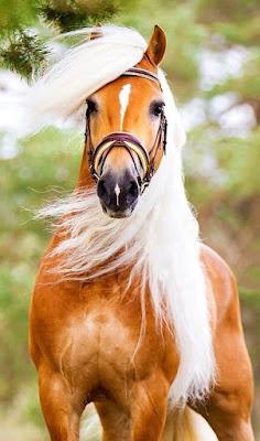 Fotografia de caballo de melena blanca