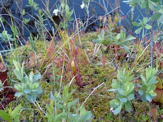 Droséra d'Angleterre - Rossolis d'Angleterre - Drosera anglica - Drosera longifolia
