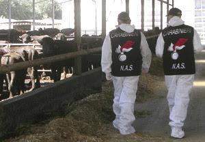 Operazione ''Super Bufala'' del NAS di Latina. Arrestati 9 veterinari dell'ASL di Frosinone per falso e truffa