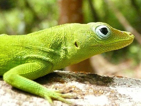 anolis dans le Parc National de Guadeloupe