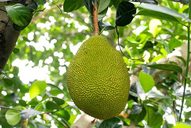 Outside of it, it has a prickly appearance and in the inside, it has a fleshy, delicious, pale-yellow, plump.