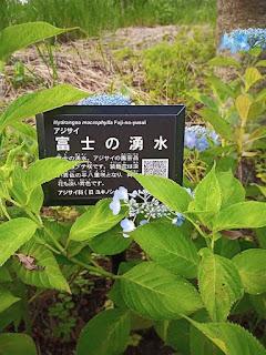 アジサイ(富士の湧水)