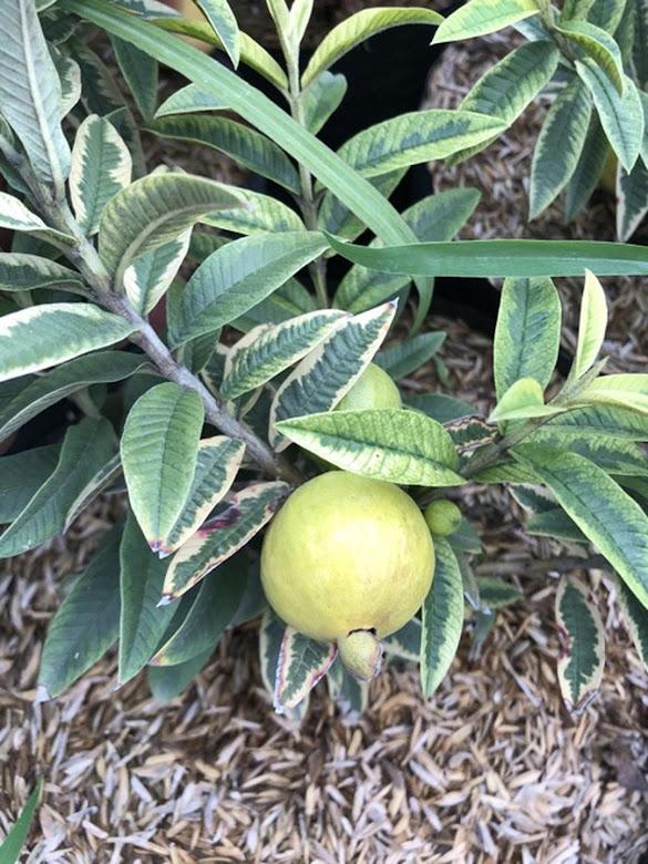 Bibit tanaman jambu varigata Palangkaraya