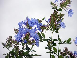 Jazmín azul (Plumbago)