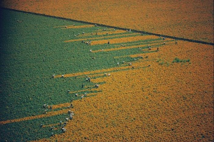 Calendula field turns from orange to green, Mexico