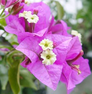 Gambar Bunga Bougenville 1