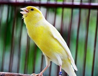 cara-merawat-burung,suara-burung-kenari-betina-memanggil-jantan,perbedaan-suara-kenari-jantan-dan-betina,memanggil-jantan,memanggil-pleci-jantan,siap-kawin,betina-birahi-mp3,betina-om-kicau,