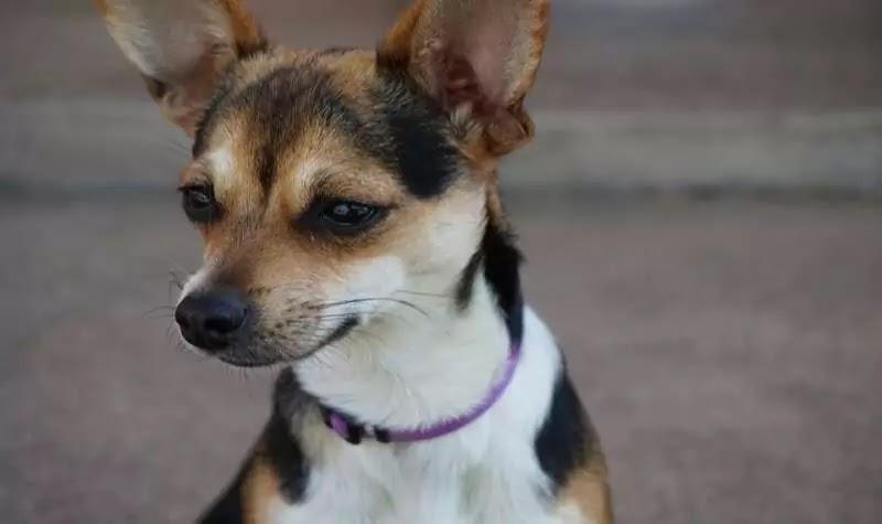 Jack Russell Chihuahua Mix, Jack Chi
