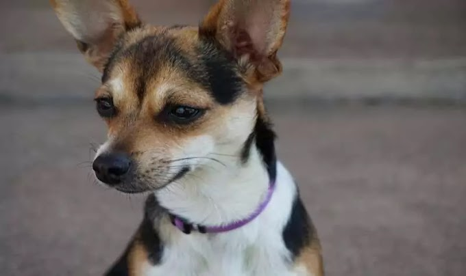 All about of Jack Russell Chihuahua Mix- Jack Chi Dog