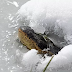 Alligators in Oklahoma turn into 'popsicles' sticking out of the frozen water