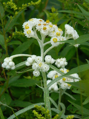 Pearly Everlasting Anaphalis margaritacea at Skyline Trail Cape Breton Highlands National Park by garden muses-not another Toronto gardening blog