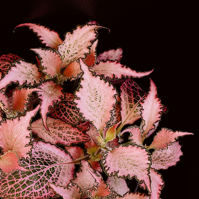 Fittonia Pink Crinkle