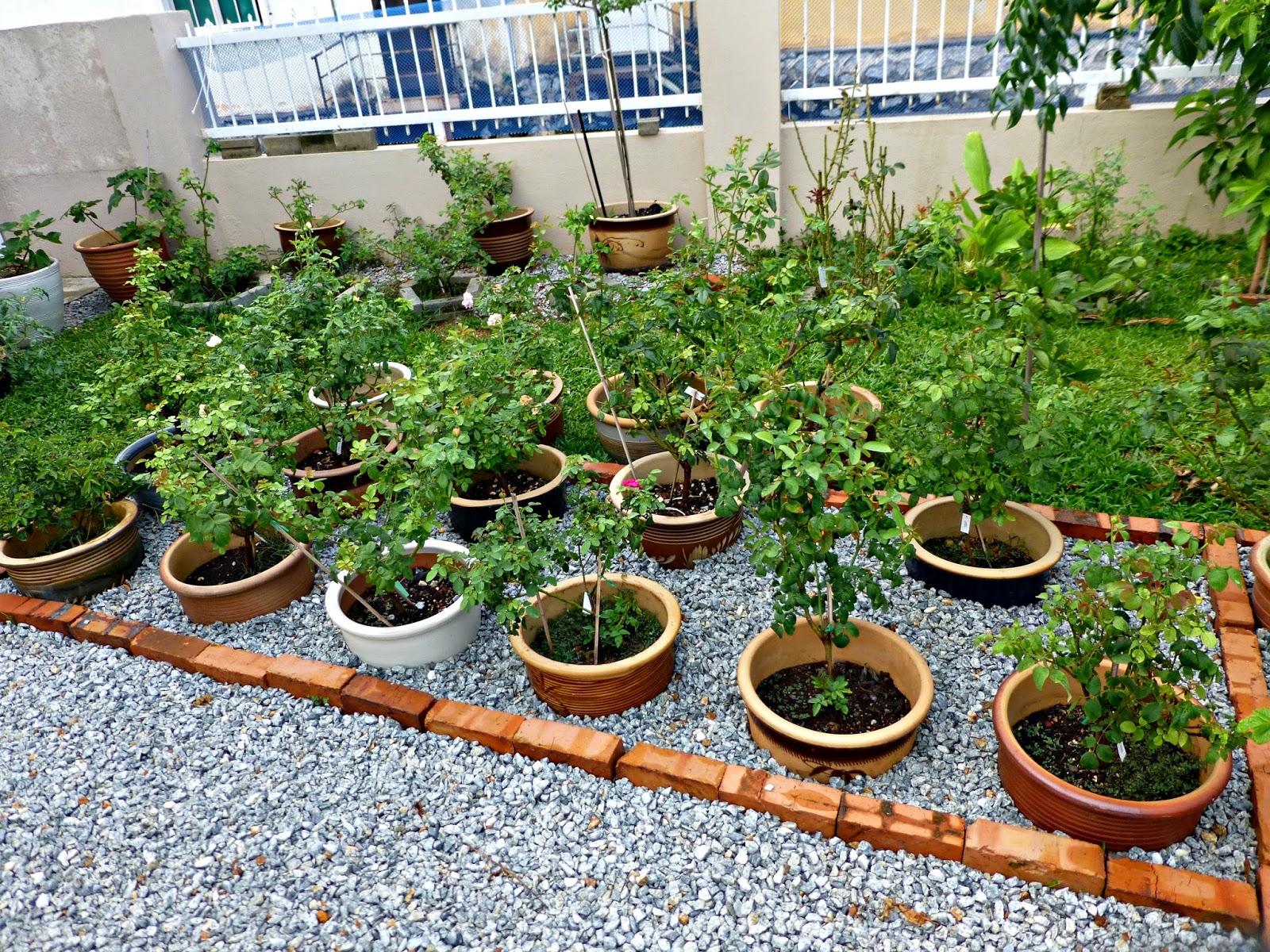 Pokok Ros Di Laman Rumah Saya Alhamdulillah Ni Suami Yang Tolong Tanam Ke Tanah Selepas 2 Minggu Semakin