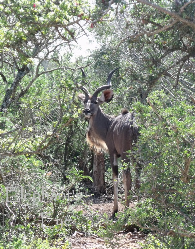 Kudu in the morning light