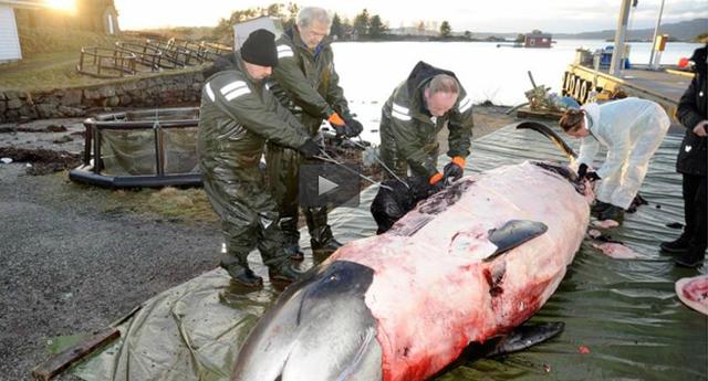 Hallan 30 bolsas de plástico en una ballena muerta en Noruega