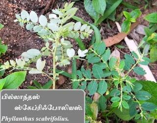 Phyllanthus scabrifolius leaf