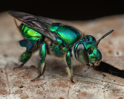 An orchid bee, (Euglossini,) from the  Peruvian Amazon