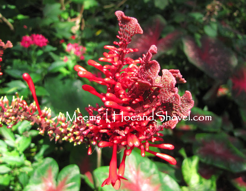 Hoe And Shovel Red Firespike For Color And For Hummingbirds