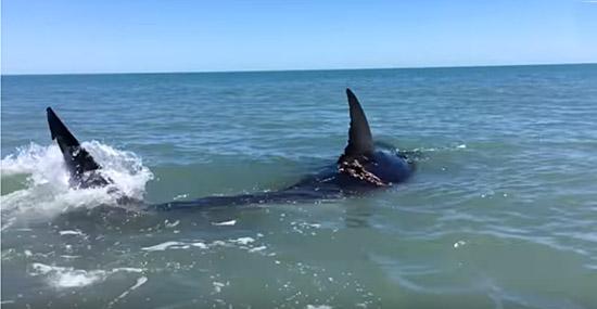Grande tubarão branco é filmado nadando em águas rasas - Capa