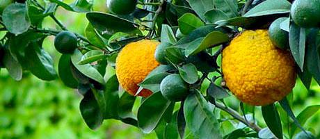 Frutti di Bergamotto