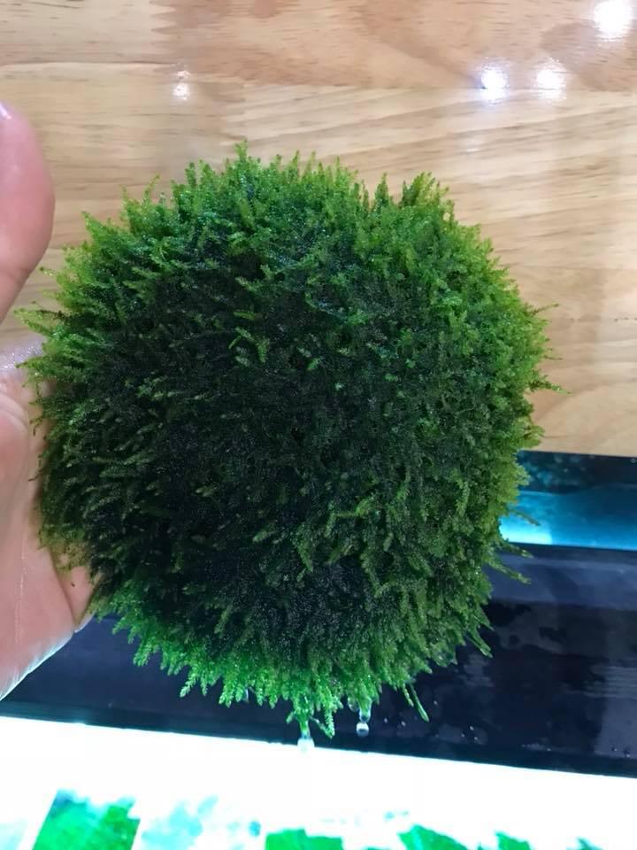 Vẻ đẹp của rêu Java trong hồ thủy sinh của bạn Cibi