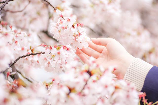 Sakura Japan Curitan Aqalili