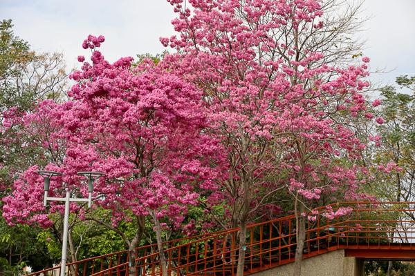 台中北屯三甲公園洋紅風鈴木盛開美翻天,搭配天空之橋超好拍