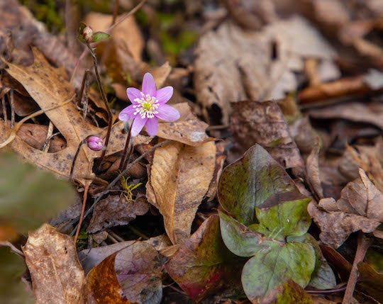 Focus stacking sharp lobed hepatica spring wildflower