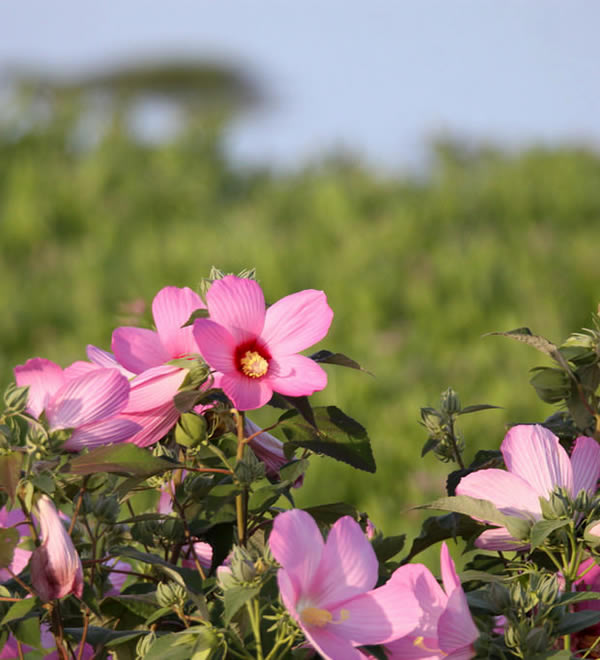 Marsh Mallow pink flower