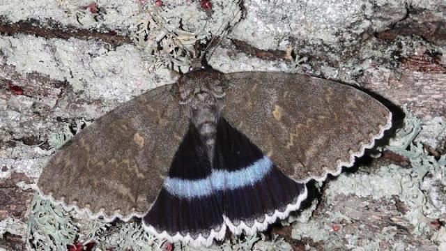 Πεταλούδα γίγας ανακαλύφθηκε στο Τσερνόμπιλ
