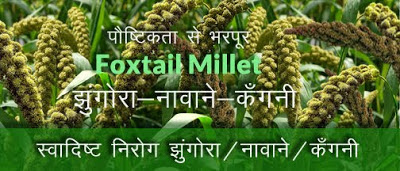 पौष्टिक स्वादिष्ट झुंगोरा / नावाने / कँगनी Foxtail Millet in hindi, Foxtail Millet Health benefits in hindi, jhangora khane ke fayde, uttarakhand jhangora, JHANGORA, BARNYARD MILLET, झंगोरा पौष्टिक अनाज, jhangora postic anaj, उत्तराखंड का झंगोरा अनाज , jhangora ke fayde