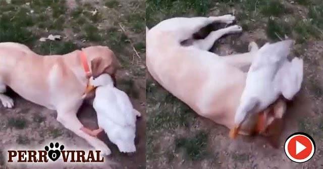 Un Reencuentro muy especial entre un pato y un perro