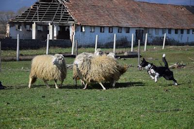 Ruby herding