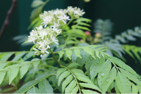 "Medical Plants À¶""à·ƒ À¶ À¶» Murraya Koenigii Curry Tree Karapincha"