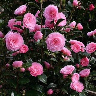Цветок Ирины- камелия