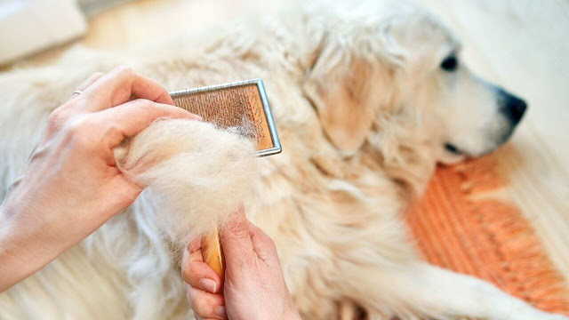should you shave your golden retriever