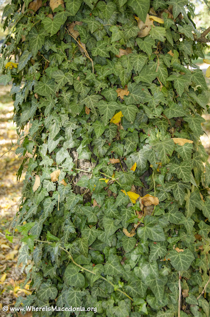 English Ivy - Lat. Hedera helix