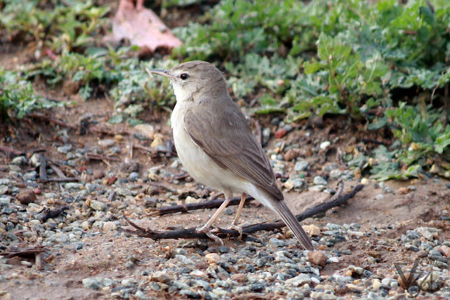 Booted Warbler / Sykes's Warbler