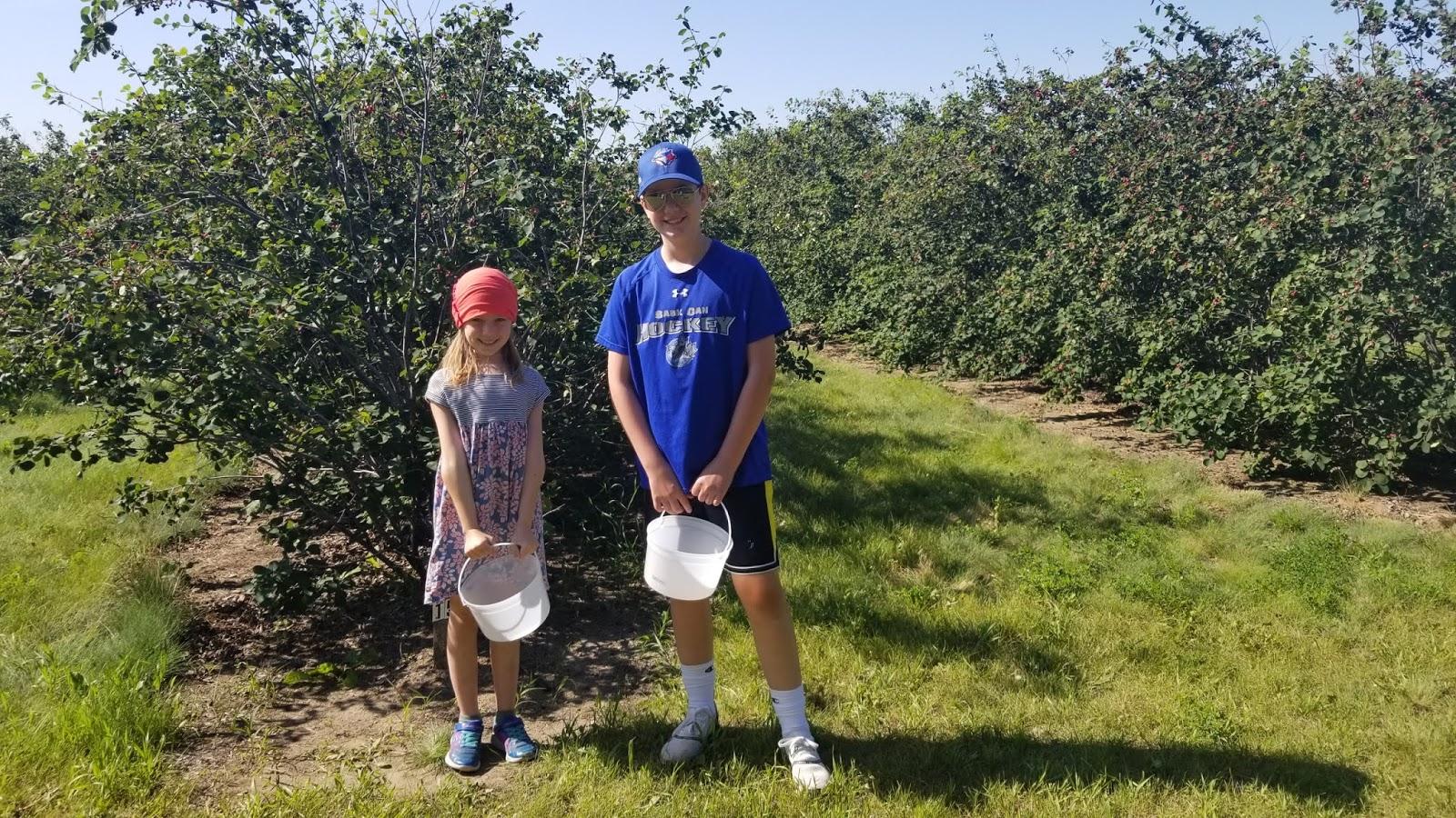 Saskatoon Berry Picking at Rhodes' U-Pick Orchard