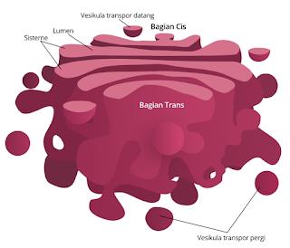 Organel Badan Golgi
