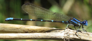 Argia sedula, Blue-ringed Dancer