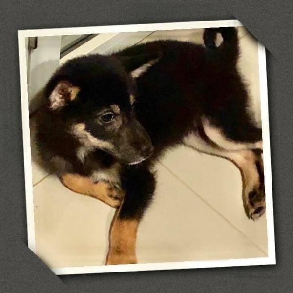 japanese dog black shiba inu puppy