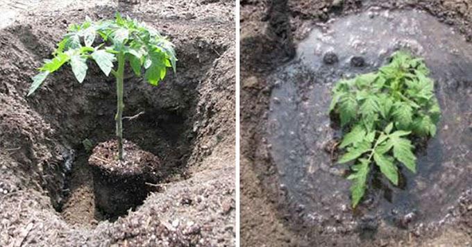 Cómo plantar tomates correctamente para cultivar plantas de 5 a 8 pies
